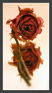 Here's some more-rose3.jpg