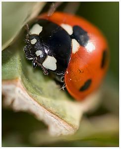 Bug!!-ladybird2.jpg