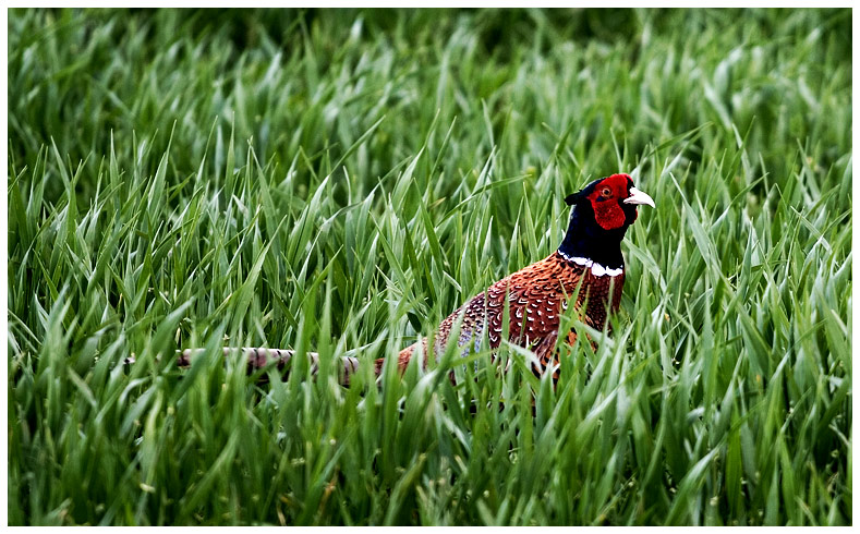 I Am A Pheasant Mother Plucker I'm not the Pheasant p...