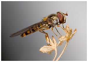 Havent posted a photo in a while-hoverfly6.jpg