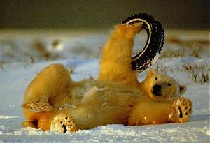 Picture fight.-bear-tyre.jpg