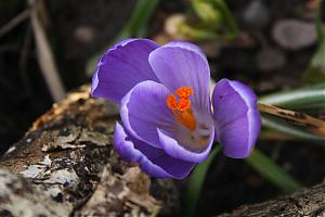 Turned out nice-crocus.jpg