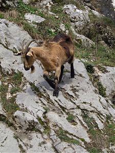 France and Spain!-goat.jpg