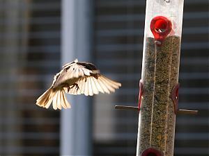 Beach-sparrow_1_small.jpg