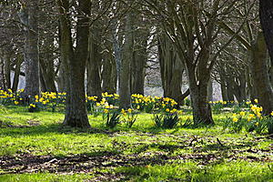 Spring photo-daffodils.jpg