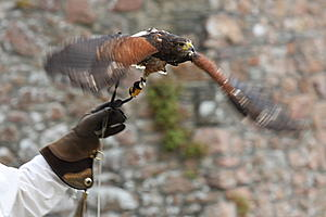Of Kings and Castles...-falconry_3_small.jpg