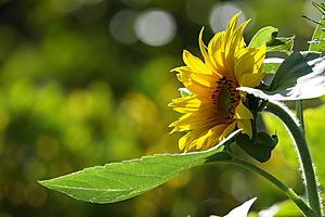 Photo retouching-sunflower.jpg